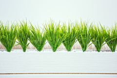 Wheat grass in white wooden pot on the white background in office Royalty Free Stock Images