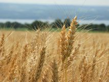 Wheat grain heads with beard spikes overlooking Seneca Lake in N. Wheat is a grass widely cultivated for its seed, a cereal grain which is a worldwide staple stock photo