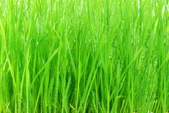 Free Wheat Grass With Water Drops Royalty Free Stock Photography - 80109567