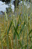 Wheat grasses close up Stock Photography