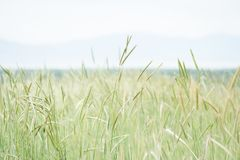 Wheat and grasses growing in front of skyline. stock photo