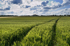 Wheat green field and sky Royalty Free Stock Image