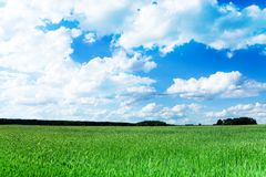 Wheat green field at spring Stock Image