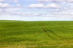 Wheat green. Green grass on the field, traces of agricultural machinery for processing wheat stock image