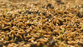 Wheat Green Sprouts, a Raw Food Diet, Growing stock video footage