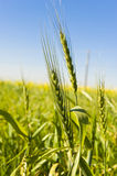 Wheat growing. Close-up of some wheat growing next to the road Royalty Free Stock Photo