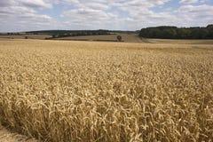 Wheat growing on an English farm Stock Image