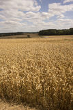 Wheat growing on an English farm Royalty Free Stock Photography