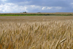 Wheat growing in field Stock Photos