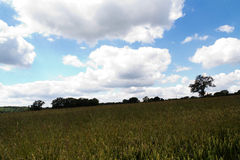 Wheat growing in a field in the Chilterns Stock Photo