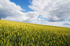 Wheat growing in a field in the Chilterns Stock Images