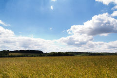 Wheat growing in a field in the Chilterns Stock Image