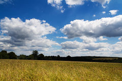Wheat growing in a field in the Chilterns Royalty Free Stock Photo