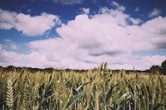 Wheat growing in a field in the Chilterns Vintage Retro Filter. Stock Image