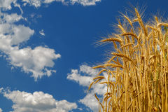 Wheat growing on field on cloudy sky background Stock Image