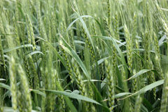 Wheat growing Royalty Free Stock Images