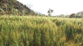 Wheat growing at sunny field in Jodhpur, closeup. stock video