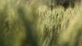 Wheat growing at sunny field in Jodhpur, closeup. stock video footage