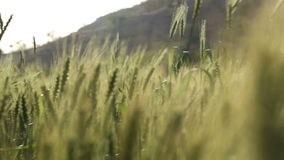Wheat growing at sunny field in Jodhpur, with local man working aside. stock video footage