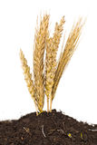Wheat grows Royalty Free Stock Photography