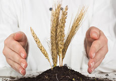 Wheat grows Stock Photo