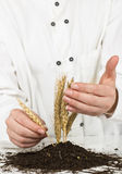 Wheat grows Stock Photos
