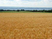 Wheat grows next to the grape crop along Seneca Lake. Wheat is a grass widely cultivated for its seed, a cereal grain which is a worldwide staple food. The many stock photos