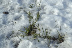 A wheat grows under snows on the field the winter grass of plant the winter. Clear day Stock Photos