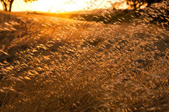 Wheat Gtass field. Wheat grass field at sunset Royalty Free Stock Image