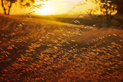 Wheat Gtass field. Wheat grass field at sunset Royalty Free Stock Images