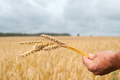 Wheat and hand. Stock Photo