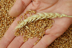 Wheat and hand. Wheat in hand in close up Royalty Free Stock Photos