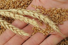 Wheat and hand. Wheat in hand in close up Royalty Free Stock Image
