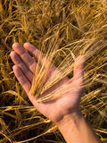 Wheat In Hand. A hand holding an ear of wheat on a wheat field background Royalty Free Stock Image