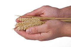 Wheat in hand Stock Images