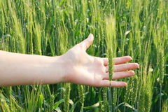 Wheat in a hand against Stock Image