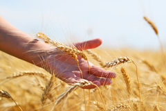 Wheat in hand Royalty Free Stock Images
