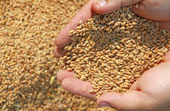 Wheat in a hand Royalty Free Stock Photo