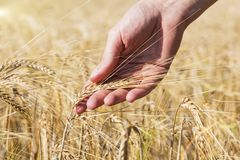 Wheat on hand. Plant, nature, rye. Crop on farm. Stem with seed for cereal bread. Agriculture harvest growth. Yellow golden rural summer landscape. Ripe food stock image