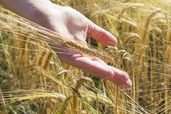 Wheat on hand. Plant, nature, rye. Crop on farm. Stem with seed for cereal bread. Agriculture harvest growth. Yellow golden rural summer landscape. Ripe food royalty free stock photo