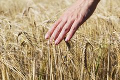 Wheat on hand. Plant, nature, rye. Crop on farm. Stem with seed for cereal bread. Agriculture harvest growth. Yellow golden rural summer landscape. Ripe food royalty free stock photos