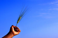 Wheat in hand_1a. Wheat raised in the blue sky Stock Photography