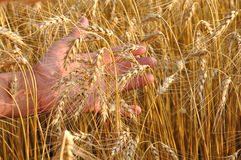 Wheat on a hand Royalty Free Stock Images