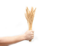 Wheat in hand Stock Image