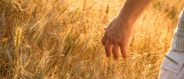 Wheat in hand of woman Royalty Free Stock Photography