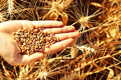 Wheat in hand Stock Photography