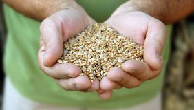 Wheat in hands Royalty Free Stock Images