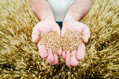 Wheat in the hands Stock Image