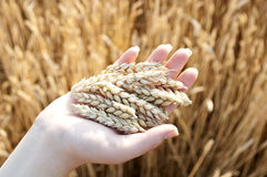 Wheat and hands Stock Image