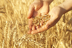 Wheat in hands. Hands full of wheat seeds, wheat ears background royalty free stock image
